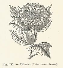 B3677 Viburno - Viburnum tinus - 1930 xilografia - Vintage engraving - Gravure