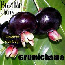 ~GRUMICHAMA~ Eugenia braziliensis FRUIT TREE Brazilian Cherry sml starter Plant