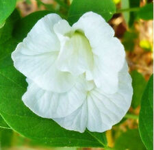 30 SEEDS WHITE BUTTERFLY PEA DOUBLE LAYER CLITORIA TERNATEA VINE FLOWER EXOTIC