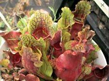"""Sarracenia Purpurea Sub Lacy Purp"" Amazing Color Live Rare Carnivorous Plant"