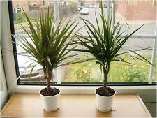 2 ELEGANT EVERGREEN ORNAMENTAL DECORATIVE DRAGON TREE PLANT IN 10CM POT INDOOR