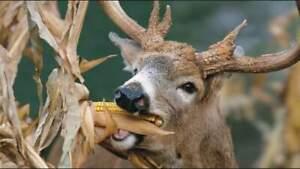 Dinner Getter Deer Food Plot Corn Seeds -High Yielding Hybrid for Whitetail Deer