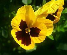 ☺50 graines de pensée jaune/pourpre