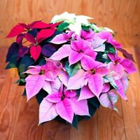 150 Pcs Poinsettia Seed  Euphorbia Pulcherrima Potted Plants Flowering Plants Se