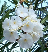 5 Oleander Kopfstecklinge MONT BLANC - ein Traum - zarte gefüllte weiße Blüten