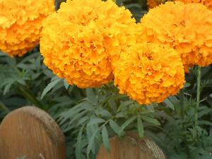 Studentenblumen Orange Riesen, 50 Samen