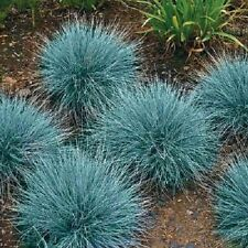 50+ BLUE FESCUE SEED /PERENNIAL / FESTUCA ORNAMENTAL GRASS / DROUGHT TOLERANT