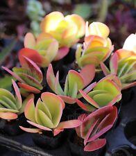 "2"" Red Yellow Kalanchoe Flapjacks Succulent Cactus Live plant rare Colorful"