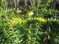 Araucaria bidwillii - 2 Bunya Bunya - Australian Monkey Puzzle - 2 Seedlings