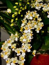 Oncidium ´White Birds´ Hybride Duft NEW rispige Pflanze 5-10 Triebe Orchidee