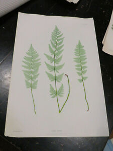 Ferns, Folio, The Ferns of Great Britain and Ireland. Nature-Printed. 1855 # XIX