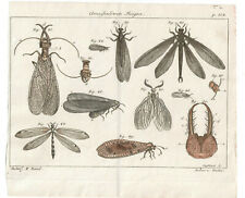 1774 Friedrich Martini Natural History plate 304 Hand-coloured