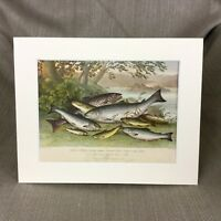 1876 Antique Victorian Print Freshwater Fish Salmon River Trout