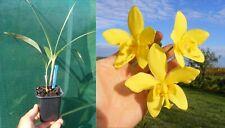 Spathoglottis kimballiana, Orchidée, Orchid
