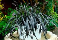 20Pcs Seeds Ophiopogon Grass Beautiful Kinds Bonsai Plants in Home Decor Garden