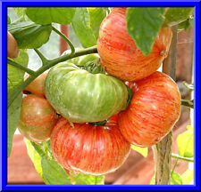 RARE Vintage Wine Tomato Seeds! Comb. S/H See our Store for Rare Seeds!