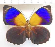 Butterflies, Nymphalidae, agrias, prepona, a. phalcidon fournierae f weibche, no 397