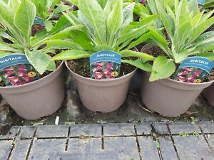 X3 Digitalis Foxlight Rose Ivory Perennial 3Litre Pot Garden Ready Foxglove
