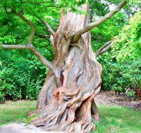 1000 Samen Metasequoia glyptostroboides Urwelt-Mammutbaum Metasequoie