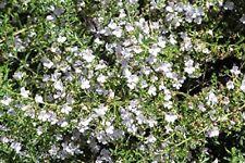 Winter-Bohnenkraut - Bergbohnenkraut - Satureja montana - 200 Samen