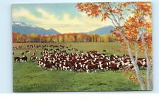 *Herd of Cattle on the Range in the Southwest Beef Steaks Texas TX Postcard C30