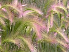 FLOWER ORNAMENTAL GRASS HORDEUM JUBATUM SQUIRREL GRASS 0.5 GM ~ APPROX 310 SEEDS