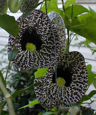 Aristolochia elegans | Elegant Dutchmans Pipe | Calico Flower | 20_Seeds