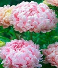 50 Peony Aster Seeds Duchess Apricot FLOWER SEEDS Paeony