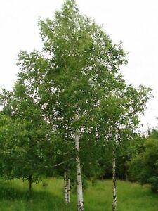Silver Birch - Betula pendula - 250+ seeds - Semillas - Graines - Samen