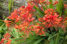 Crocosmia 'Lucifer' 10 Seeds- Brilliant Red flowers