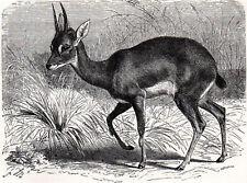 Oribi 1894 Antelope - Mammal - Gustav Ludwig Heinrich Mützel Victorian Engraving