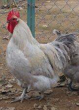 12+ Lavender Orpington Chicken Hatching Eggs