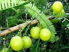 8 graines de GROSEILLE INDIENNE(Phyllanthus Emblica) AMLA SEEDS SAMEN SEMILLAS