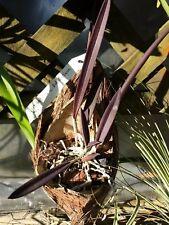 Orchid Cattleya Brassavola B nodosa x C schilleriana mounted coconut hanging