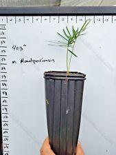 FREE SHIPPING Macrozamia Mountperriensis 1Gallon Seedling Encephalartos Cycad