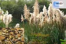 Dr T&t Lu GEN/Reed rizoma 100g Dry Herbs