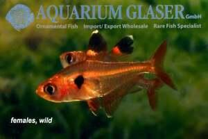 Hyphessobrycon sweglesi Red Phantom Tetra 10 Fish pack