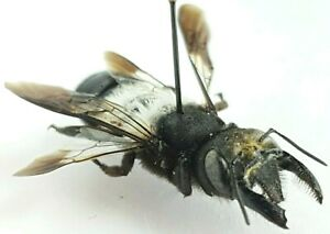 Hymenoptera Megachile sp. RSA, ONLY ONE, 26+mm