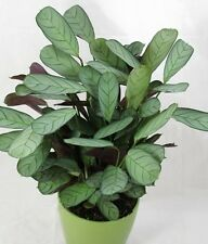 PRAYER Maranta Amagris tropical / indoor / understorey plant in 125mm pot