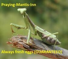 10 Super Fresh Chinese Praying Mantis Eggs Cases Real Live egg no more pest