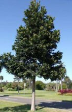 QUEENSLAND KAURI – AGATHIS ROBUSTA – STATELY SPECIMEN TREE