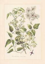 Foresta REBE-Clematide vitalba stampa a colori di 1960 STREGHE MAGLIA brennkraut klömmholz