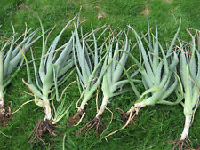 Aloe Vera Barbadensis Miller Plants 30-50cm