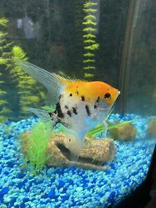 (6) Juvenile Koi Angelfish
