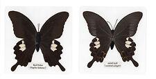 Laminated Red Helen Papilio helenus  Butterfly Specimen in 11x11 cm Clear Sheet