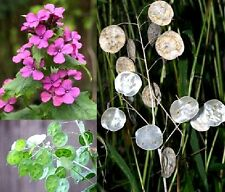 LUNARIA HONESTY - 50 SEEDS - ANNUAL MONEY PLANT SEEDS - FLOWER