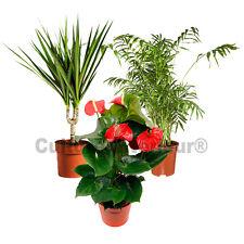 Pack 3 plantes dépolluantes d'intérieur V1 (Chamaedorea, Draceana, Anthurium)