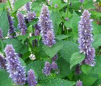 ANISE HYSSOP BLUE SPIKE Agastache Foeniculum - 200 Bulk Seeds