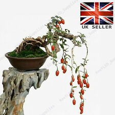 RARE Lycium Chinense, bacche di Goji BONSAI TREE - 10 vitali freschi semi-UK Venditore