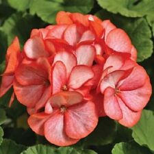 15 Film Coated Geranium Maverick Scarlet Picotee Geranium Seeds